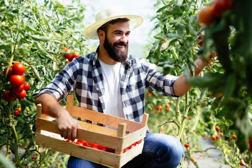 Obstbauer pflückt und kontrolliert Tomaten